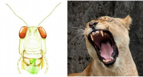 locust and lion teeth